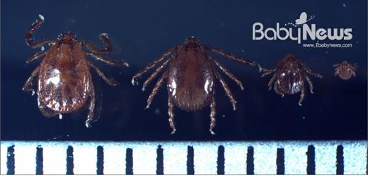 좌측부터 작은소참진드기 암컷, 수컷, 약충, 유충. 'SFTS(중증열성혈소판감소증후군)'를 일으키는 바이러스가 발견된 작은소참진드기는 주로 숲과 초원, 시가지 주변 등 야외에 사는 경향이 있다. ⓒ질병관리본부